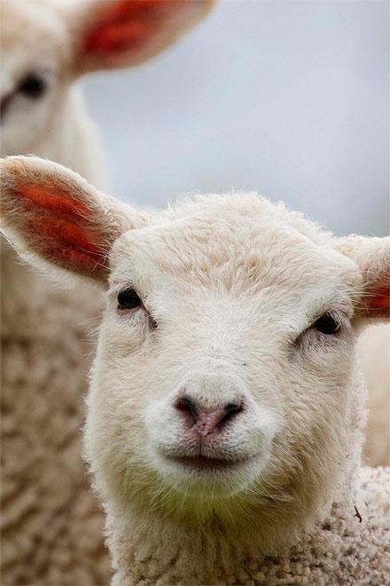 nature oveja